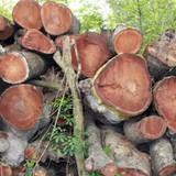 Hà Nội tiếp tục đấu giá gỗ cây xanh bị chặt hạ