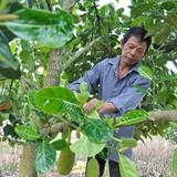 Vì sao nông dân Đồng Nai bán mít 600 đồng/kg?