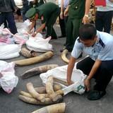 Giấu hơn 2 tấn ngà voi trong container chở gỗ