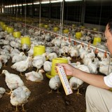 """Ngoài gà Mỹ, gà nội sắp bị """"đè bẹp"""" bởi gà Thái Lan"""