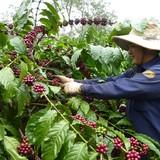 Nông dân trồng cà phê không mặn mà với gói hỗ trợ 3.000 tỷ đồng