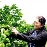 """Tỷ phú nông dân với thương hiệu """"Chanh không hạt Vica"""""""