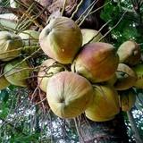 TP.HCM: Dừa không phù hợp để trồng trong đô thị