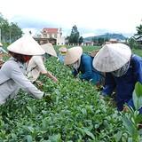 """Đài Loan """"dội gáo nước lạnh"""", thị trường trà Việt lao đao"""