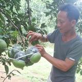 Bí quyết làm giàu: Trồng bưởi hồ lô ở Đồng Nai