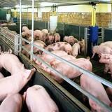 Chất cấm trong chăn nuôi lại xuất hiện theo kiểu biệt dược dạng lỏng