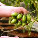 Giá cà chua Đà Lạt lên kỷ lục 180.000 đồng/kg