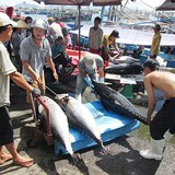 Cá ngừ lại bị tư thương ép giá