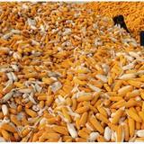 20 triệu tấn ngô bẩn ở Trung Quốc có nguy cơ tràn sang nước khác