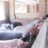 Ồ ạt nuôi lợn mỡ xuất sang Trung Quốc: Rủi ro nhiều hơn lợi nhuận