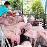 Thương lái Trung Quốc làm loạn thị trường thịt heo