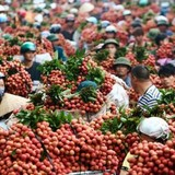 200 thương lái Trung Quốc vào Bắc Giang giám sát thu mua vải thiều