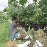 Vườn nho cho lãi trăm triệu của chàng trai xứ Lạng