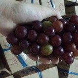 Táo Ninh Thuận mất mùa, nông dân chuyển sang trồng nho