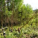 Trung Quốc ngừng mua dăm, nông dân trồng rừng khốn đốn