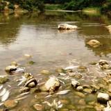 Vịt chết hàng loạt sau khi ăn cá trên sông Âm