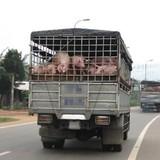 Xuất khẩu lợn sang Trung Quốc: Nguy cơ bị ép giá, thua lỗ lớn