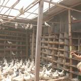 Tự tạo cơ hội: Sống khỏe nhờ nuôi bồ câu Pháp