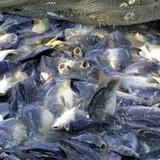 Thị trường 24h: Nhiễm kim loại nặng, thủy sản Việt Nam bị nhiều khách quốc tế hủy hợp đồng