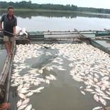 Nguyên nhân cá chết trên sông Chà Và có thể do thiếu ôxy