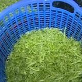 Ngâm rau muống vào hóa chất độc hại