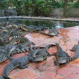 Cá sấu rớt giá kỷ lục