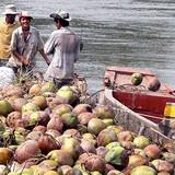 Trung Quốc ồ ạt mua dừa, nhà máy ngưng hoạt động