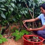 Vườn ớt khổng lồ của chàng nông dân Đà Lạt