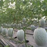 Dưa lưới trồng không kịp bán