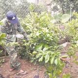 Nhà vườn gấp rút chuẩn bị hàng Tết