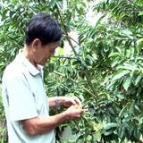Thu tiền tỷ từ trồng mãng cầu xiêm trên đất nhiễm phèn