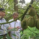 Nông dân vùng ngập lũ lãi lớn nhờ trồng sầu riêng