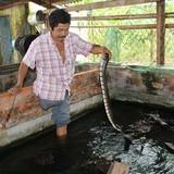 Tự tạo cơ hội: Kiếm tiền từ nuôi rắn ri voi