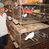 Tự tạo cơ hội: Nuôi bồ câu lai trên đệm lót sinh học