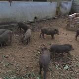 Nuôi lợn rừng online ăn Tết: Đặt trước nửa năm, thăm nuôi từng giờ