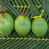 Thị trường 24h: Dừa in chữ, dừa hồ lô, dừa bánh tét giá hơn nửa triệu đồng chưng tết