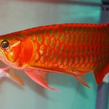 Những loài cá cảnh đắt giá khiến đại gia Việt mê mẩn