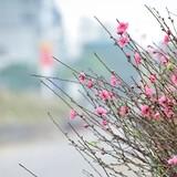 [Ảnh] Vườn đào Nhật Tân khoe sắc sớm
