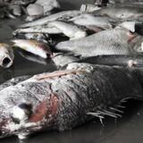 Chỉ đạo nổi bật: Điều tra nghi vấn ống xả thải Formosa trong vụ cá chết hàng loạt