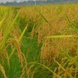 Đề xuất tăng mức hỗ trợ để bảo vệ phát triển đất trồng lúa