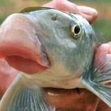 """Những loài cá """"tiến vua"""" đắt đỏ được đại gia Việt săn lùng"""