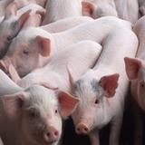 Xuất khẩu thịt lợn 5 tháng đầu năm 2017 gần bằng cả năm ngoái