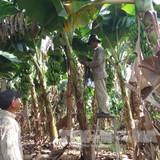 Vừa qua đợt giải cứu chuối rớt giá, nông dân lại tiếp tục... trồng vụ mới