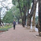 Hàng loạt cây cổ thụ đường Kim Mã sẽ bị chặt hạ làm đường sắt đô thị