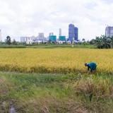 """Người dân Sài Gòn gặt lúa ở dự án """"treo"""" 25 năm"""