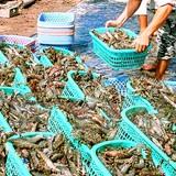 Tôm nguyên liệu ở Cà Mau đang tiếp tục đà tăng giá trở lại