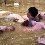 Đàn lợn gần 4.000 con của trại giam chết đuối trong lũ