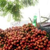 Nông sản được mùa nhưng mất giá: Lỗi tại ai?