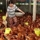 Kịch bản xấu của ngành chăn nuôi Việt Nam trong TPP