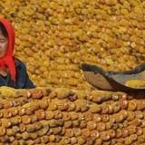 Thị trường 24h: 20 triệu tấn ngô bẩn Trung Quốc có nguy cơ tràn sang nước khác